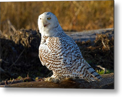 Snowy Owl Metal Print featuring the photograph Snowy Owl by Shari Sommerfeld