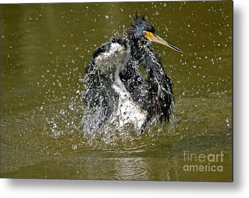 Birds Metal Print featuring the photograph So Refreshing by Rick Gripp