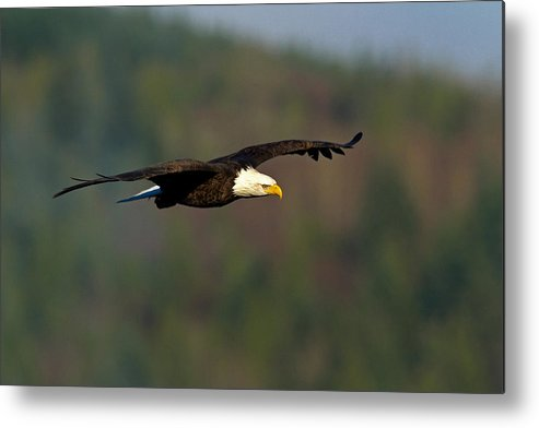Bald Eagle Metal Print featuring the photograph Soaring Above by Shari Sommerfeld
