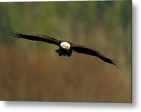 Bald Eagle Metal Print featuring the photograph Soaring High by Shari Sommerfeld