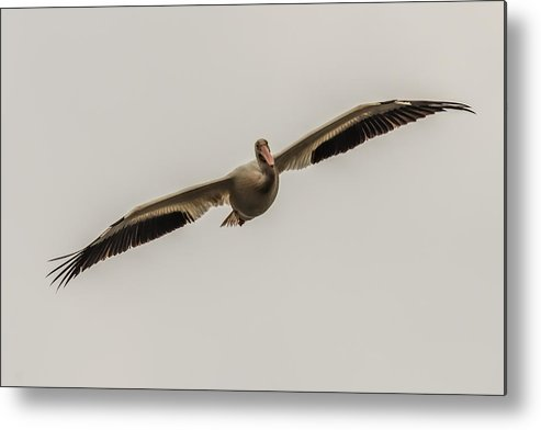 Pelican Metal Print featuring the photograph Soaring Pelican by Paul Freidlund
