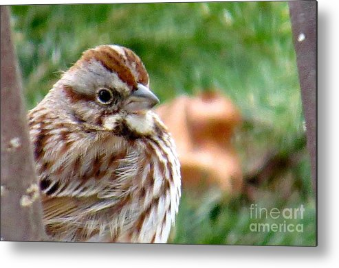 Wildlife Metal Print featuring the photograph Song Sparrow by Brenda Ketch