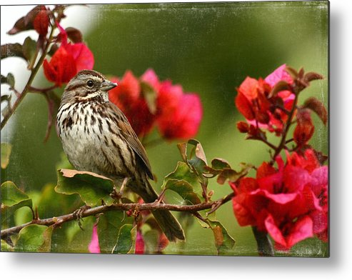 Sparrow Metal Print featuring the photograph Sparrow Song 8 by Fraida Gutovich