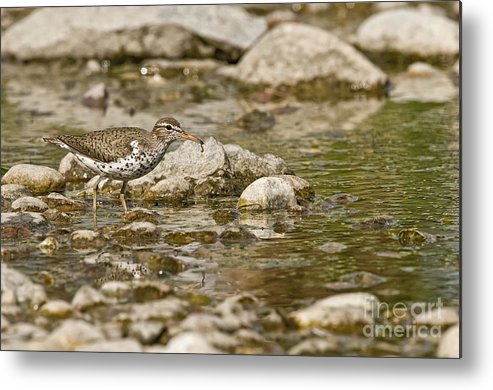 Spotted Sandpiper Metal Print featuring the photograph Spotted Sandpiper Pictures 36 by World Wildlife Photography