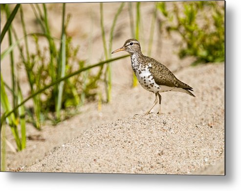 Spotted Sandpiper Metal Print featuring the photograph Spotted Sandpiper Pictures 45 by World Wildlife Photography