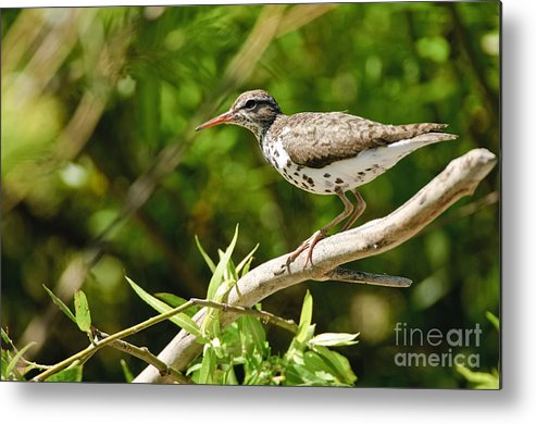 Spotted Sandpiper Metal Print featuring the photograph Spotted Sandpiper Pictures 48 by World Wildlife Photography
