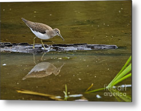 Spotted Sandpiper Metal Print featuring the photograph Spotted Sandpiper Pictures 61 by World Wildlife Photography