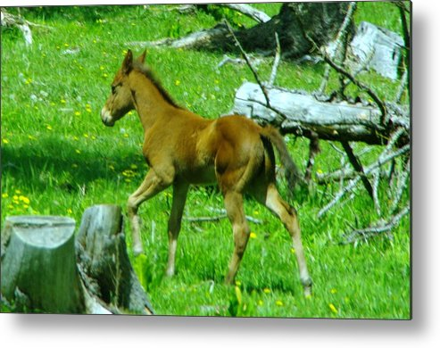 Baby Colts Metal Print featuring the photograph Spring Colt by Jeff Swan