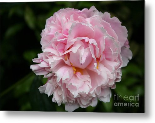 Peony Metal Print featuring the photograph Spring In Pink by Christiane Schulze Art And Photography
