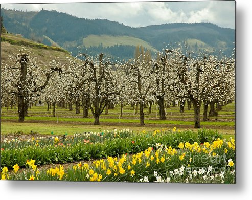 Oregon Metal Print featuring the photograph Spring In The Hood River Valley by Nick Boren