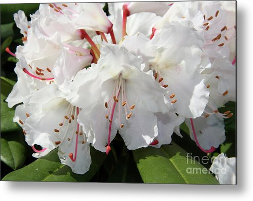 Rhododendron Metal Print featuring the photograph Spring Pride by Christiane Schulze Art And Photography