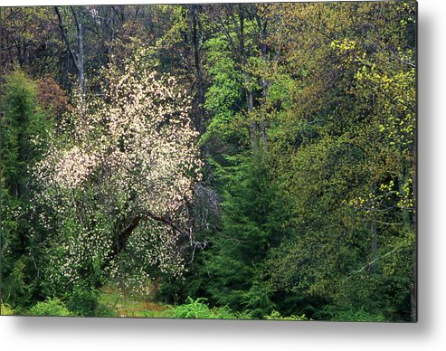 Eastern Us Forest Mixed Trees Metal Print featuring the photograph Springtime Forest Blossoms by Blair Seitz