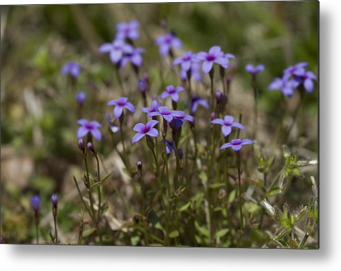 Houstonia Pusilla Metal Print featuring the photograph Springtime Tiny Bluet Wildflowers - Houstonia Pusilla by Kathy Clark