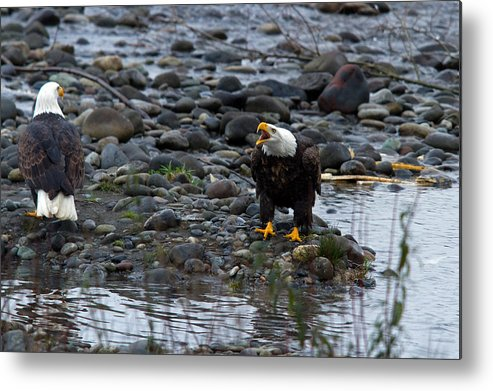 Bald Eagle Metal Print featuring the photograph Squawk Time by Shari Sommerfeld