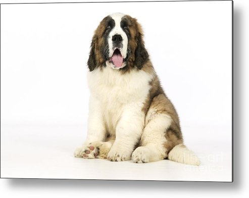 St Bernard Metal Print featuring the photograph St Bernard Dog by John Daniels