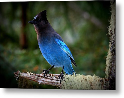 Steller's Jay Alaska Birds Metal Print featuring the photograph Steller's Jay by Rick and Dorla Harness