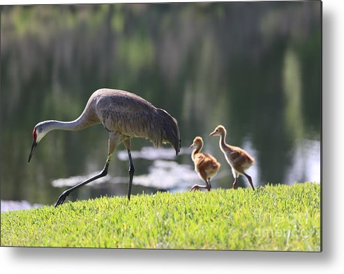 Sandhill Cranes Metal Print featuring the photograph Stroll By The Pond by Carol Groenen