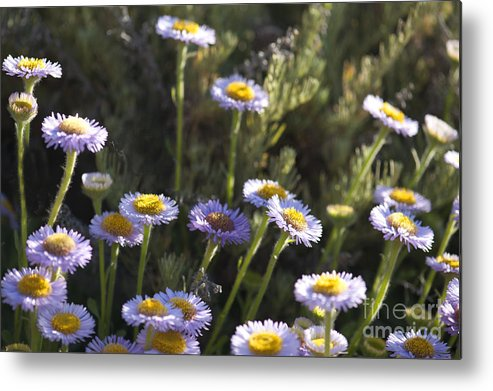 Suisun Marsh Aster Metal Print featuring the photograph Suisun Marsh Aster In The Morning Light by Artist and Photographer Laura Wrede