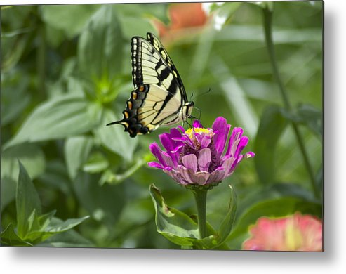Summer Metal Print featuring the photograph Summer Butterfly by Bill Cannon