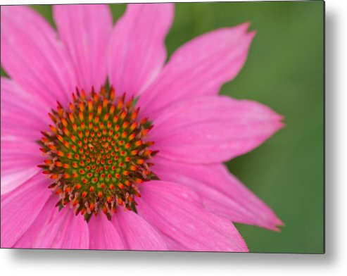 Summer Metal Print featuring the photograph Summer Coneflower by Lindley Johnson