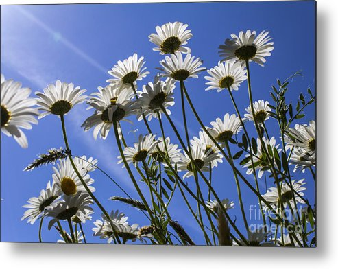 Floral.flower Metal Print featuring the photograph Sun Lit Daisies by Brian Roscorla