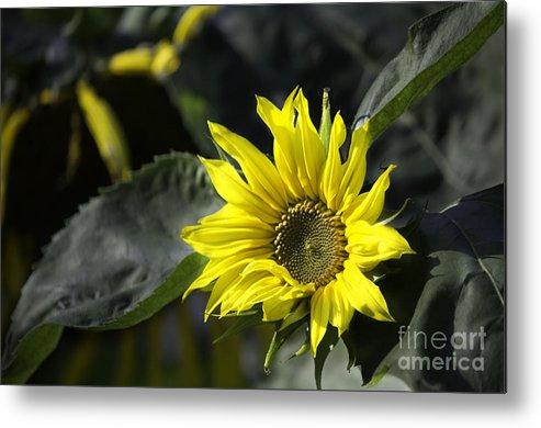 Sunflower Metal Print featuring the photograph Sunflower by CJ Benson