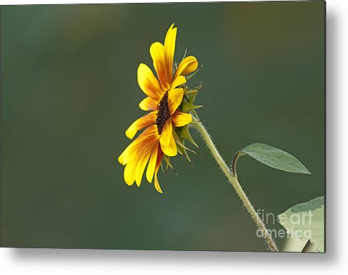 Sunflower Metal Print featuring the photograph Sunflower From The Side by Earl Nelson