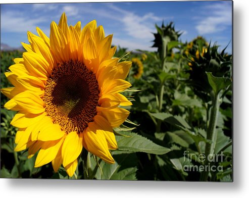 Agriculture Metal Print featuring the photograph Sunflower Glow by Kerri Mortenson