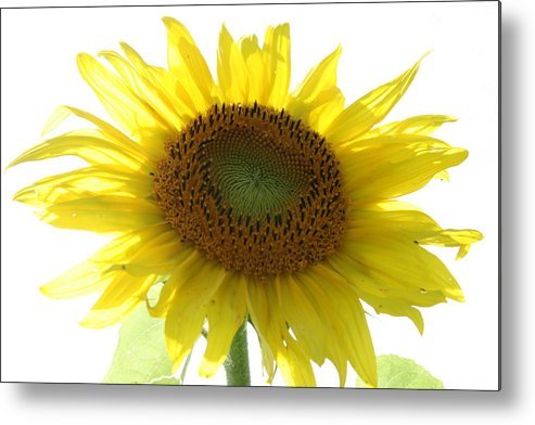 Sunflower Metal Print featuring the photograph Sunflower In Light by Neal Eslinger