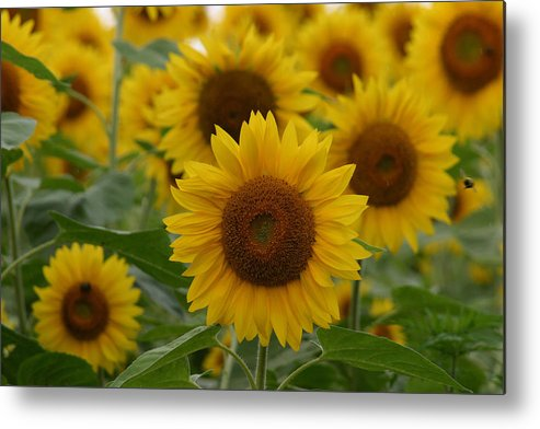 Denyse Duhaime Photography Metal Print featuring the photograph Sunflowers At The Farm by Denyse Duhaime