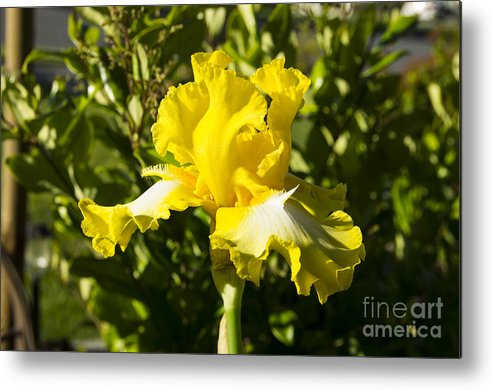 Yellow Metal Print featuring the photograph Sunshine Iris by Louise Magno