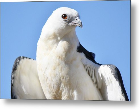 Kite Metal Print featuring the photograph Swallow-tailed Kite by Paulette Thomas