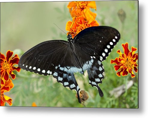 Swallowtail Metal Print featuring the photograph Swallowtail Butterfly With Marigolds by Janice Carter
