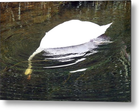 Mute Swan Metal Print featuring the photograph Swan Hunting For Dinner by Tim Senior