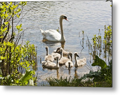 Swan Metal Print featuring the photograph Swan With Signets 2 by Dennis Coates