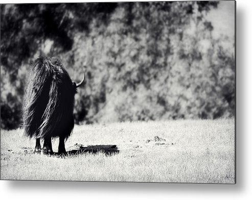 Yak Metal Print featuring the photograph Swaying In The Wind by Melanie Lankford Photography