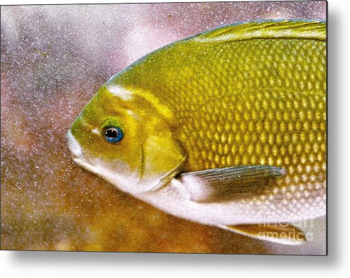 Fish Picture Metal Print featuring the photograph Swimming Fish by Artist and Photographer Laura Wrede