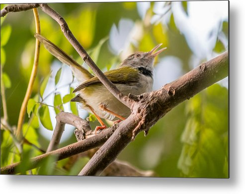 Bird Metal Print featuring the photograph Tailor Bird by Gaurav Singh