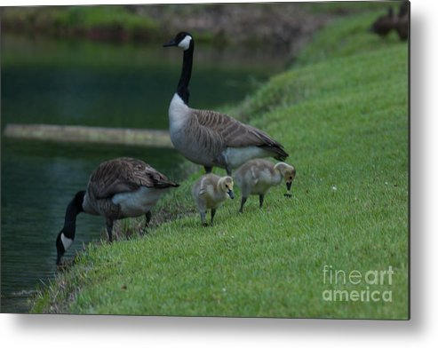 Geese Metal Print featuring the photograph Take A Sip by Dale Powell