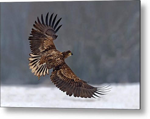 White-tailed Metal Print featuring the photograph Taking Off by Xavier Ortega