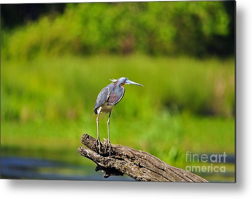 Heron Metal Print featuring the photograph Tantalizing Tricolored by Al Powell Photography USA