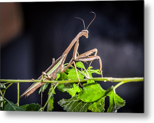 Praying Mantis Metal Print featuring the photograph The General by Sennie Pierson