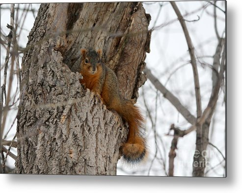 Squirrel Metal Print featuring the photograph The Hide Out by Lori Tordsen