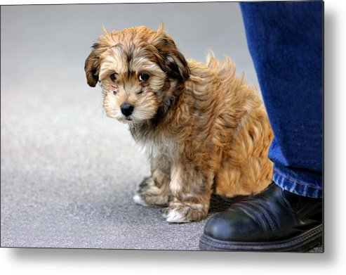 Dog Metal Print featuring the photograph The Little Dog by Michael Nystrom