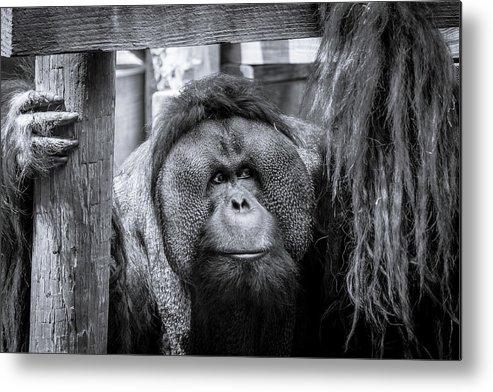 Wildlife Monkey Ape Orangutan Prison Captive Metal Print featuring the photograph The Lonely One by Tushar Bajaj