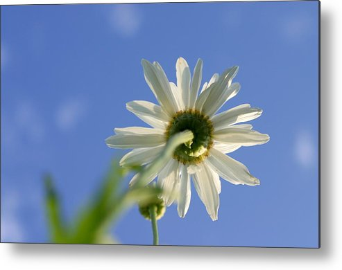 Blue Sky Metal Print featuring the photograph The Oxeye Daisy by Vasilisa Moruga
