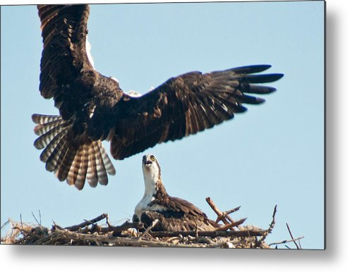 Osprey Metal Print featuring the photograph The Return by Geraldine Alexander
