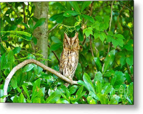 Great Horned Owl Metal Print featuring the photograph The Stare Down by RJ Powell Studios