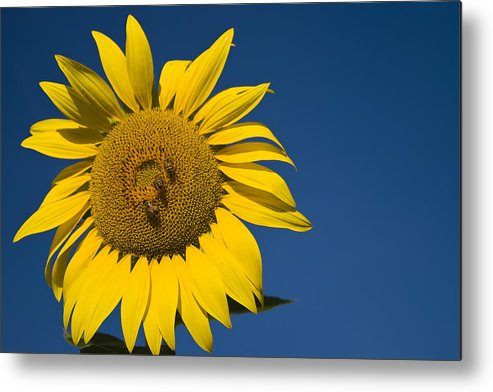 3scape Photos Metal Print featuring the photograph Three Bees And A Sunflower by Adam Romanowicz