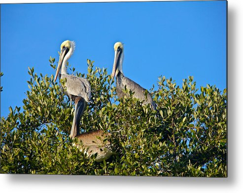 Pelican Metal Print featuring the photograph Three Brown Pelicans by Denise Mazzocco